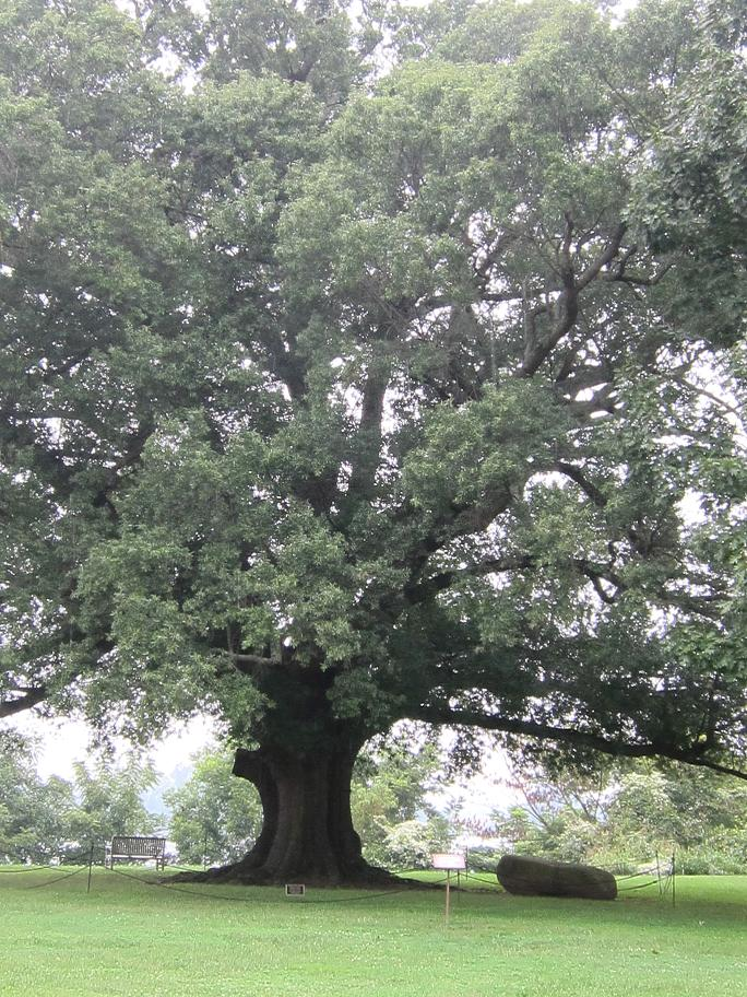 390 Year old Willow Oak