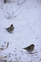 Birds in the Snow